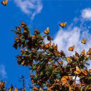 Farfalle, è boom: mille ali colorate si alzano in volo!