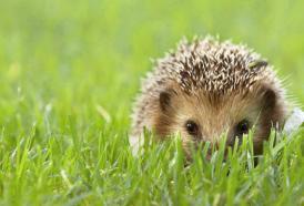 NICO TAVIAN Veterinario, ritrovamento di porcospini: come comportarsi
