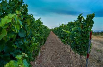 Il clima che cambia mette a rischio la viticoltura in Italia?