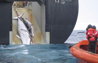 Il Giappone riprende la caccia commerciale alle balene.