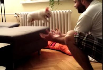 Il cucciolo di bulldog ha paura di saltare dal divano