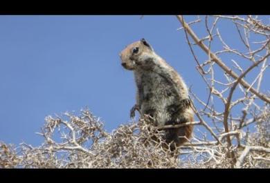 Gli scoiattoli di Fuerteventura