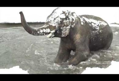 Cade la prima neve e l'elefante si dà alla gioia: il video