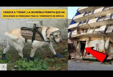 Messico:  ecco Frida, il cane eroe che ha salvato più di 50 persone