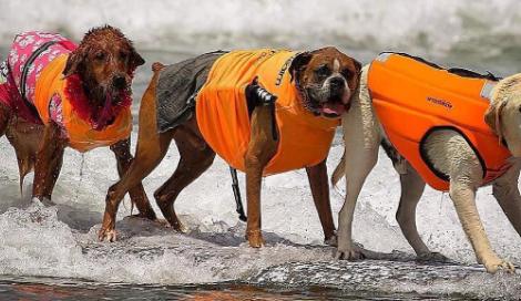 """Cani in surf. In California tutti pazzi per il """"Surf City Surf Dog"""""""