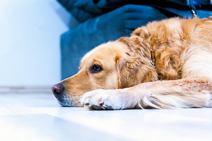 علاج التهاب المعدة عند الكلاب